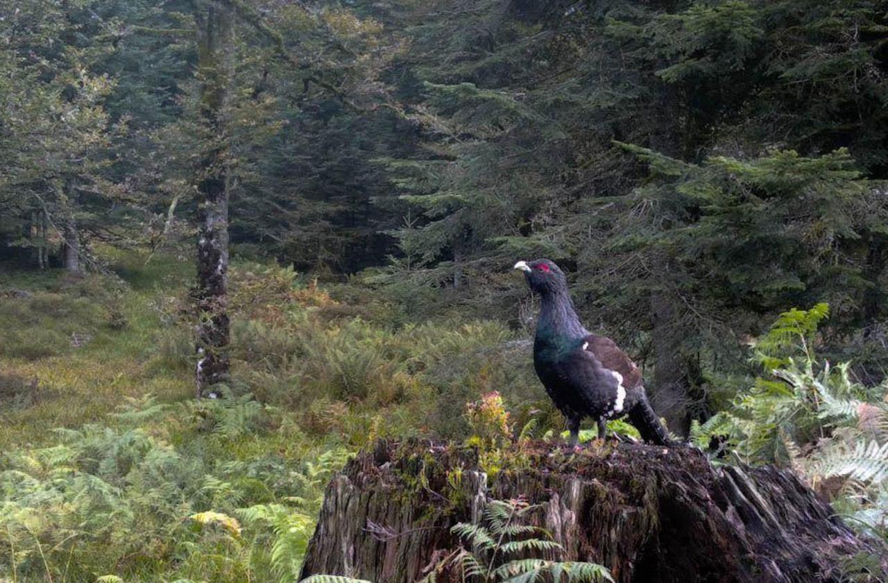 Le grand tétras des Vosges est menacé d'extinction
