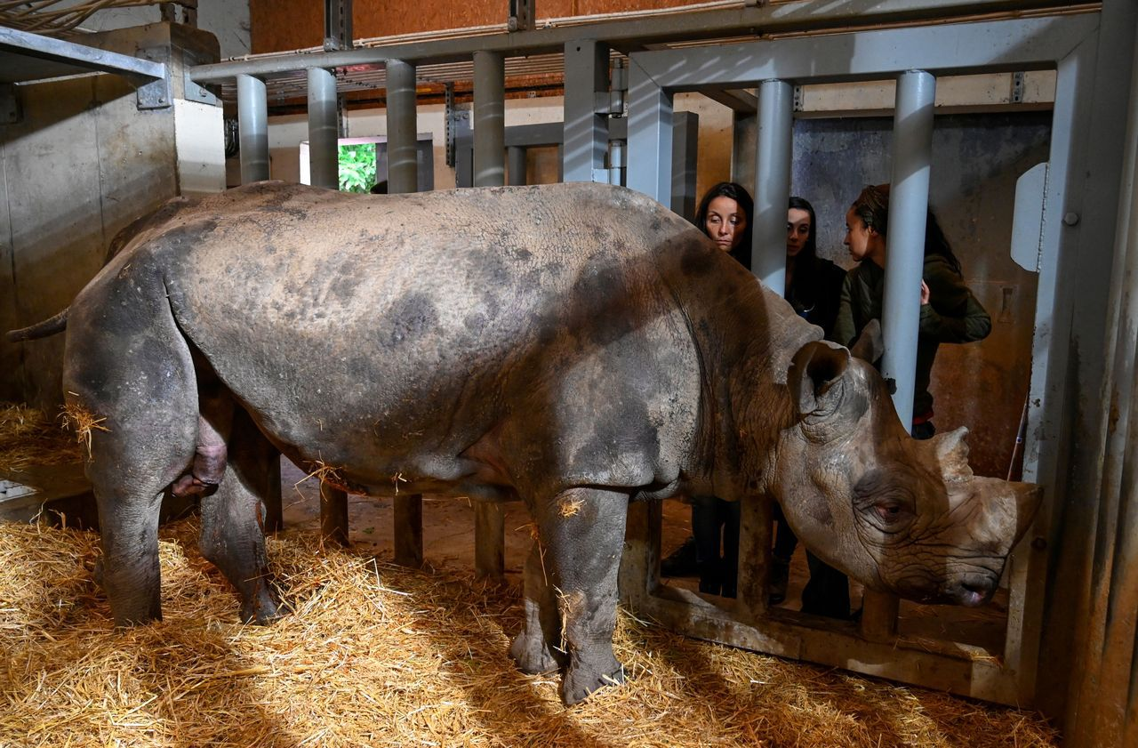Jacob, un rhinocéros noir, est mort de faim et de fatigue dans un zoo du Morbihan