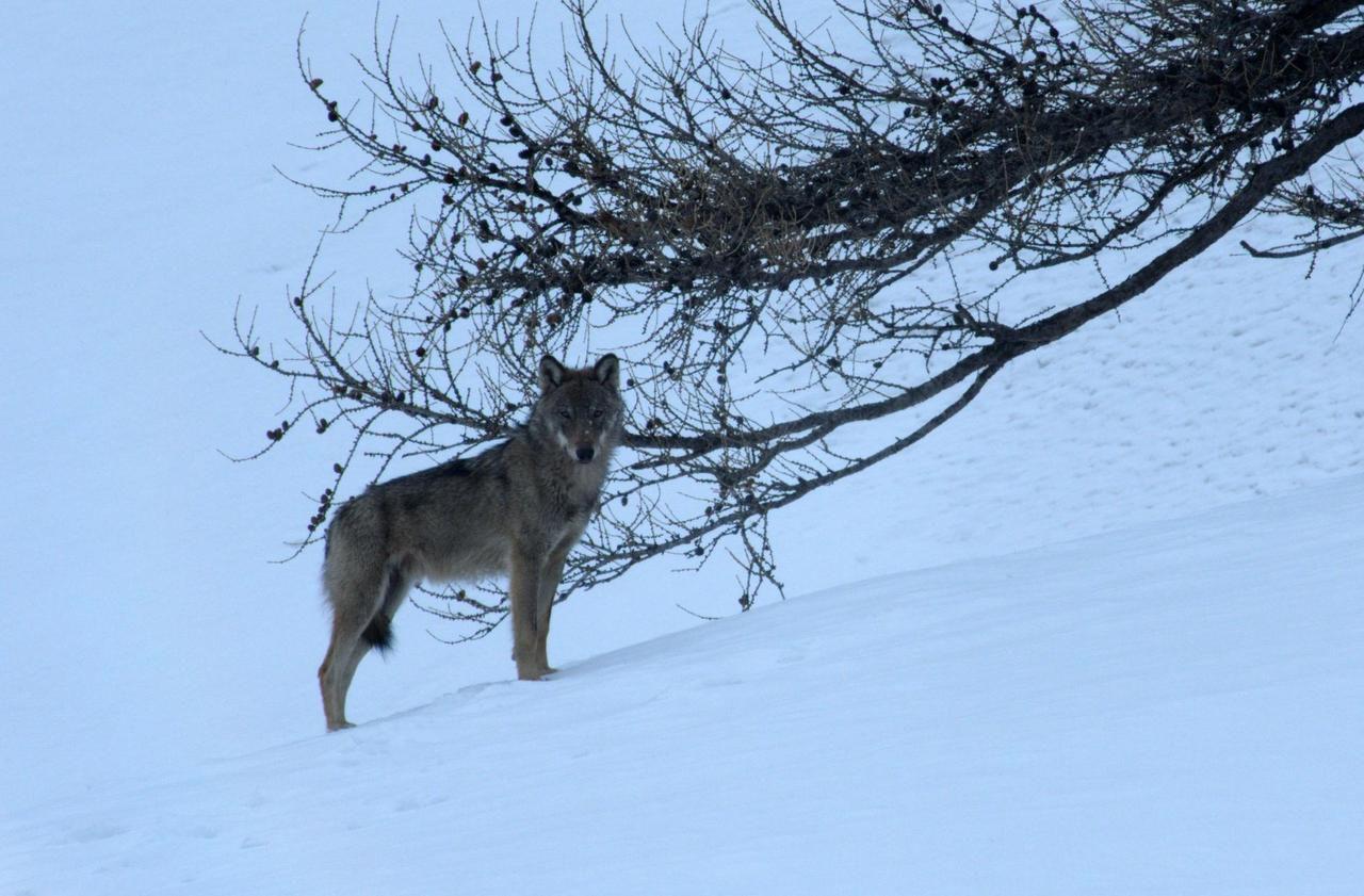«Marche avec les loups» : quel voyage !