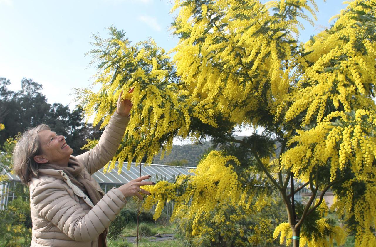 Dans le Var, un mimosa toujours plus précoce