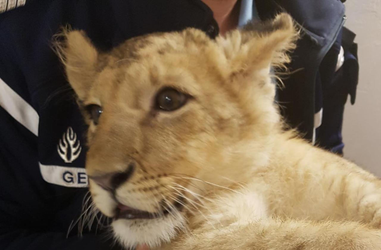 Pyrénées-Orientales : elle tombe sur un lionceau en promenant son chien