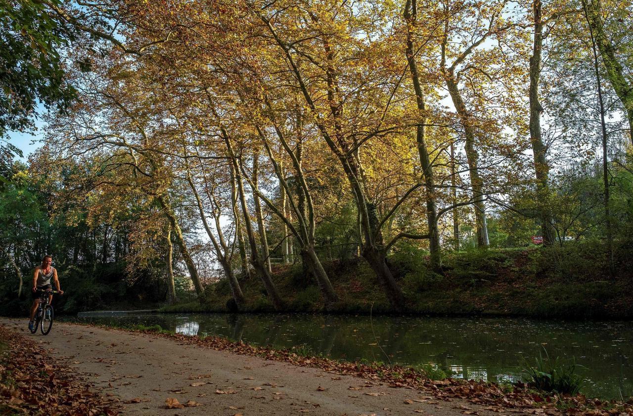 Les arbres du canal du Midi, décimés par une maladie incurable, renaissent