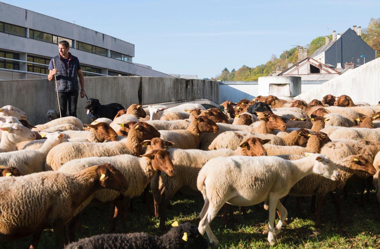 A Evreux, la transhumance des moutons fait désormais partie du paysage - Le Parisien
