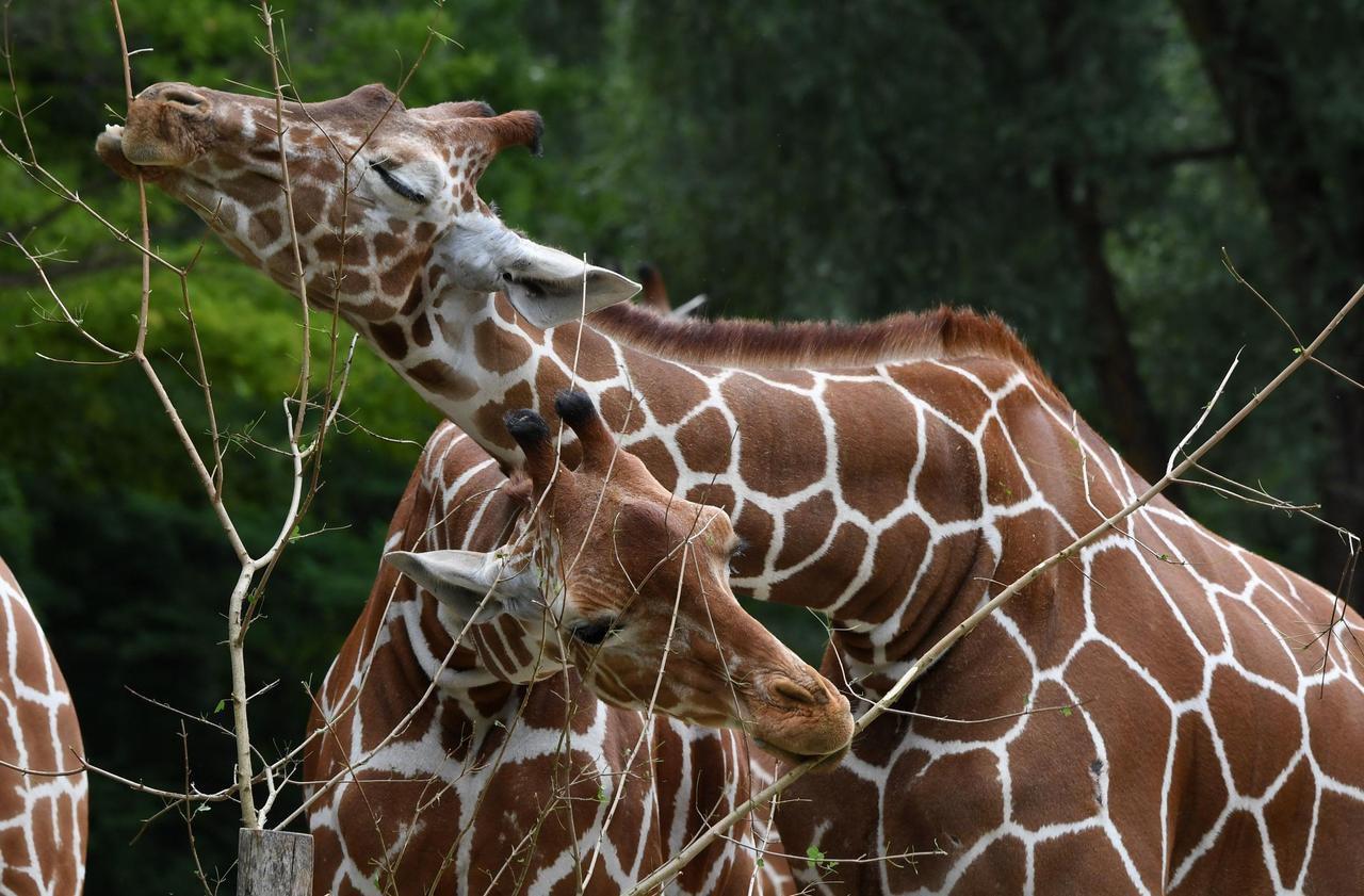 Girafes bi, pingouins gays et lionnes lesbiennes : le zoo de Munich veut lever les tabous