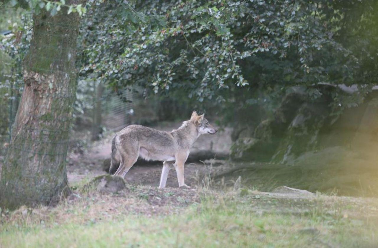 Le loup trouve de nouvelles zones d'habitat en France