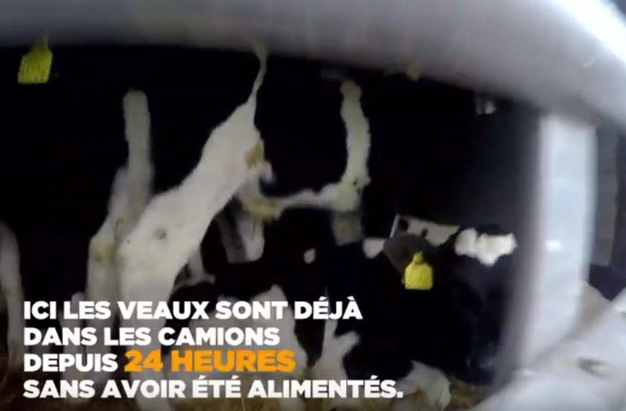 Coronavirus : L214 dénonce le transport des veaux nourrissons à travers l'Europe