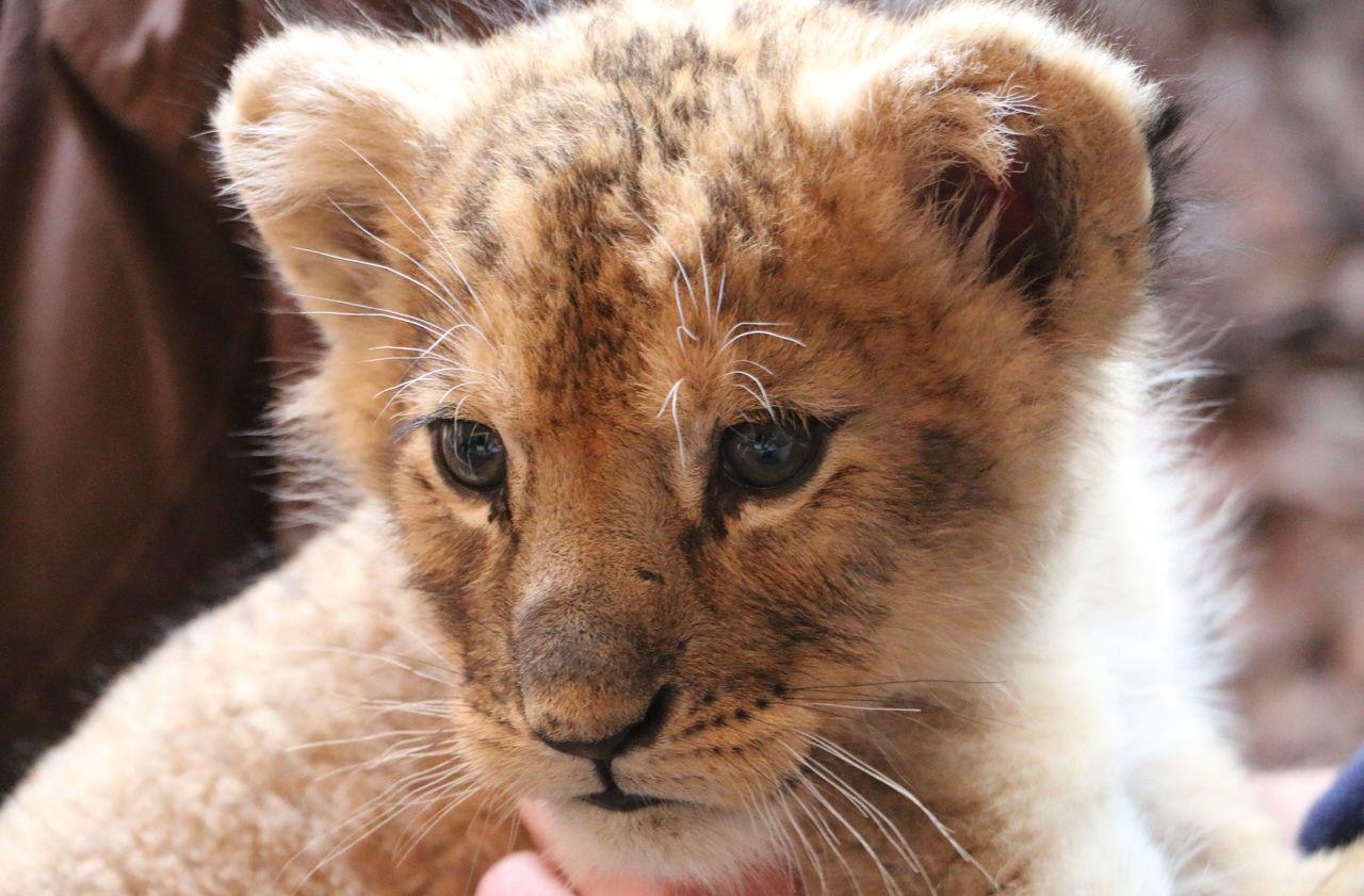 Bouches-du-Rhône : une enquête ouverte après l'abandon de deux lionceaux devant un zoo